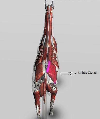 MiddleGluteal1